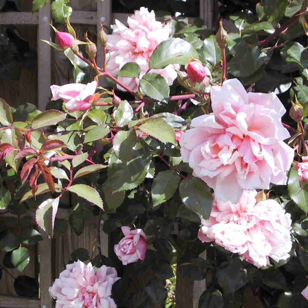 Albertine slyngrose blomstrer i stativ