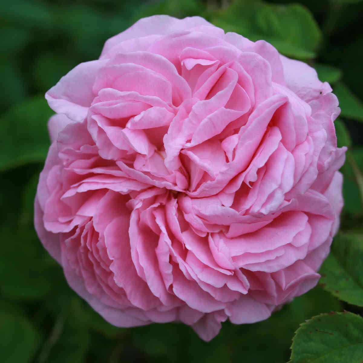 Rose gallica 'Empress Josephine'