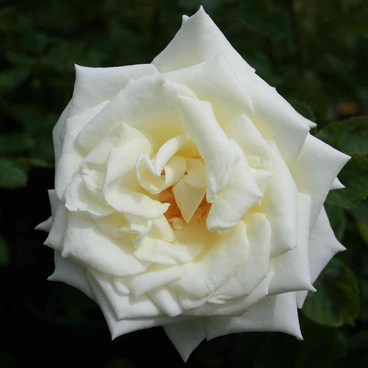 Rose 'Polarstern'