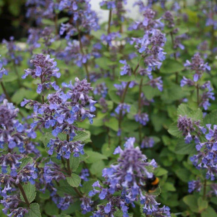 Katteurt - Nepeta faassenii 'Blue Wonder'