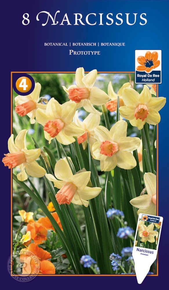 Påskeliljeløg - Narcissus Prototype 12/14
