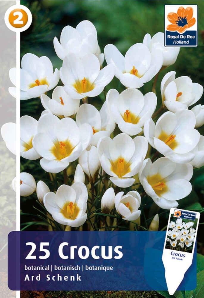 Krokus - Crocus Ard Schenk 5/+