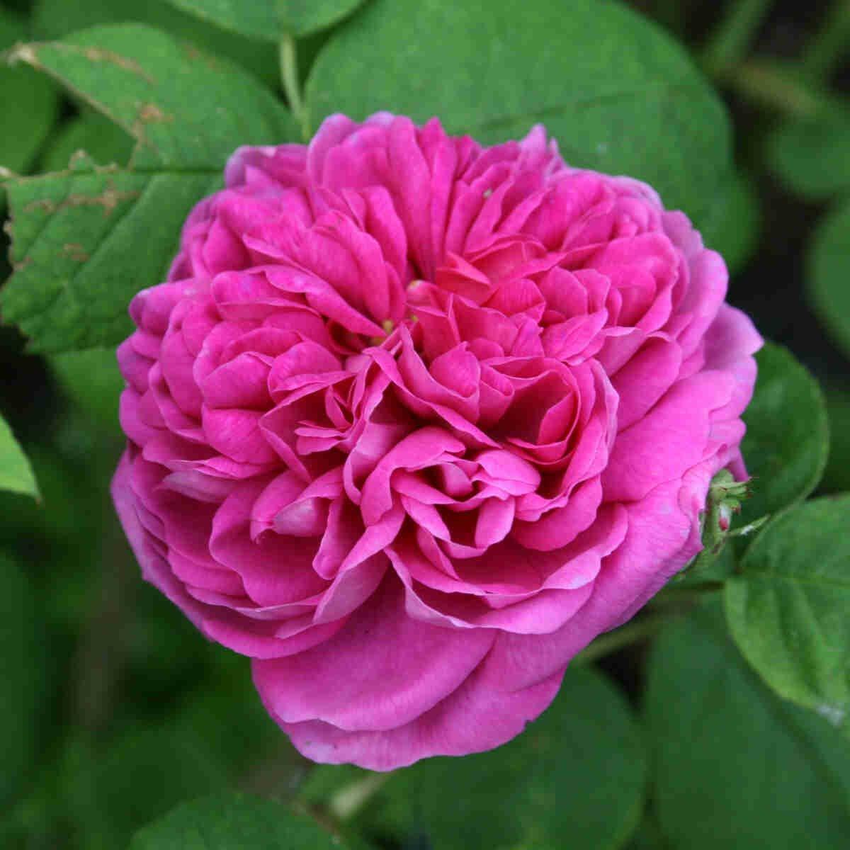Historisk rose 'Rose de Rescht'