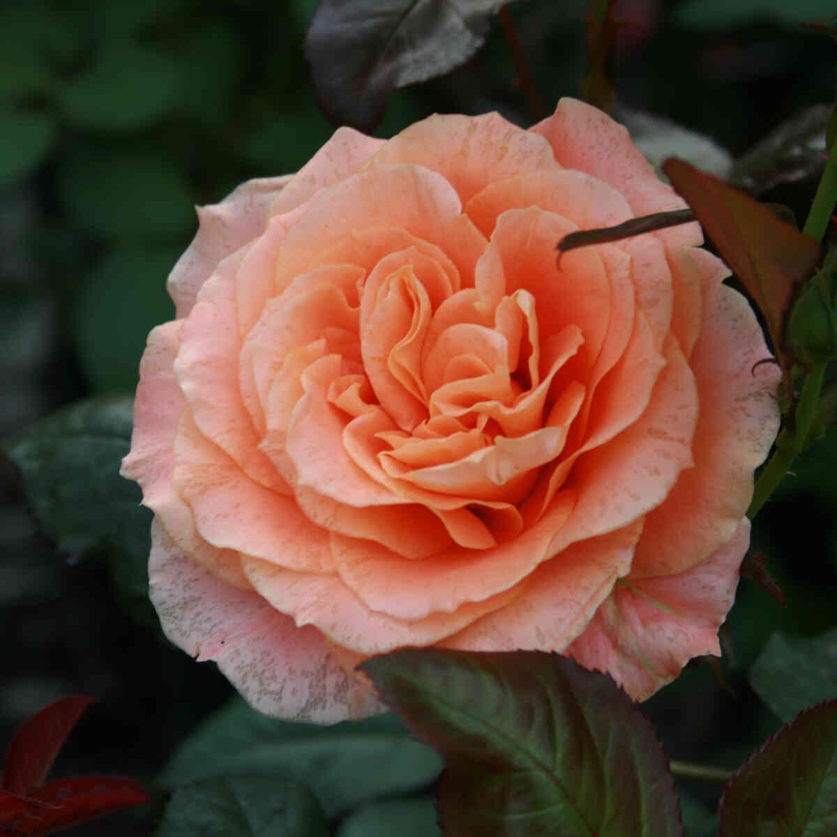 Rose 'Flora Danica'