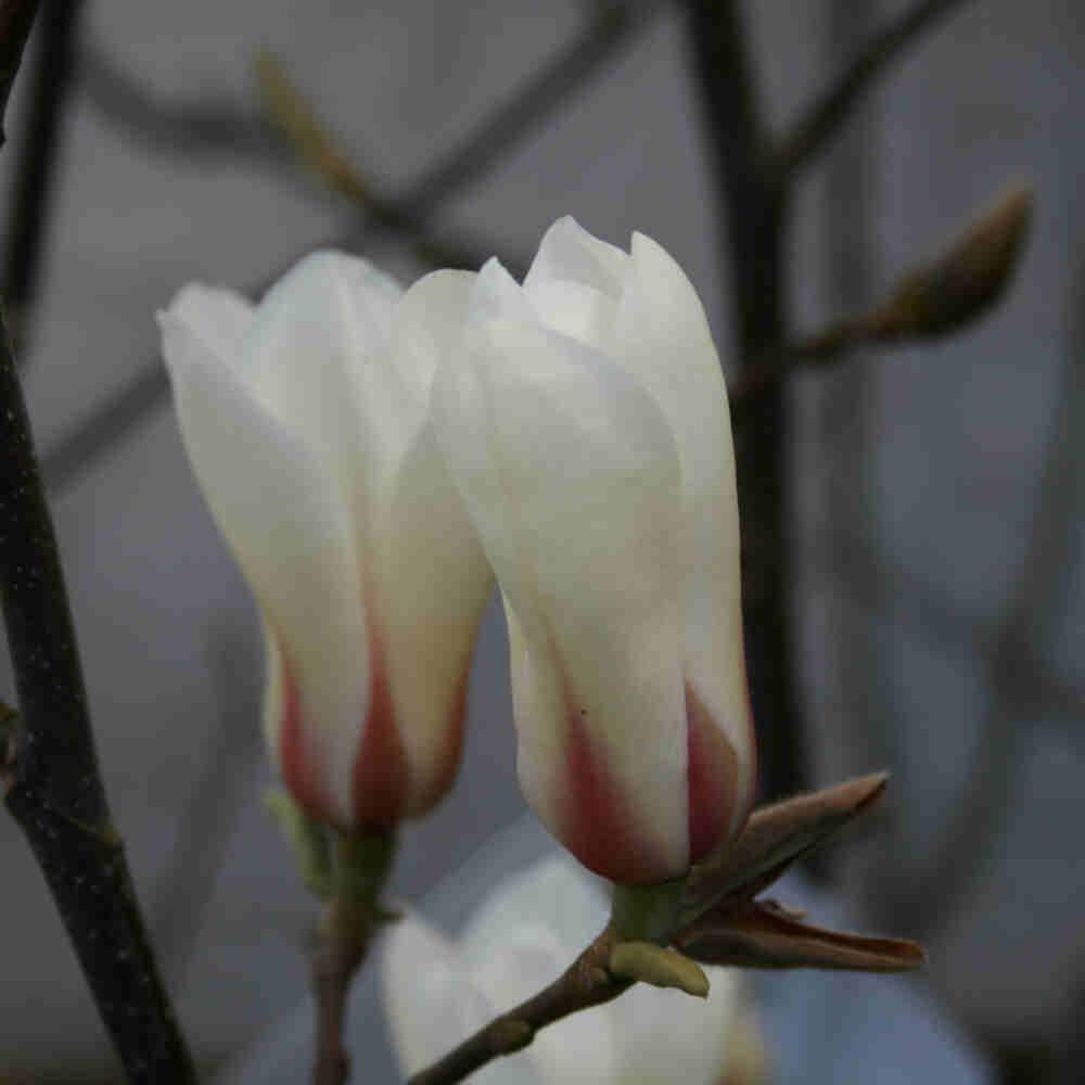 Magnolia Sunrise med creme hvide blomster