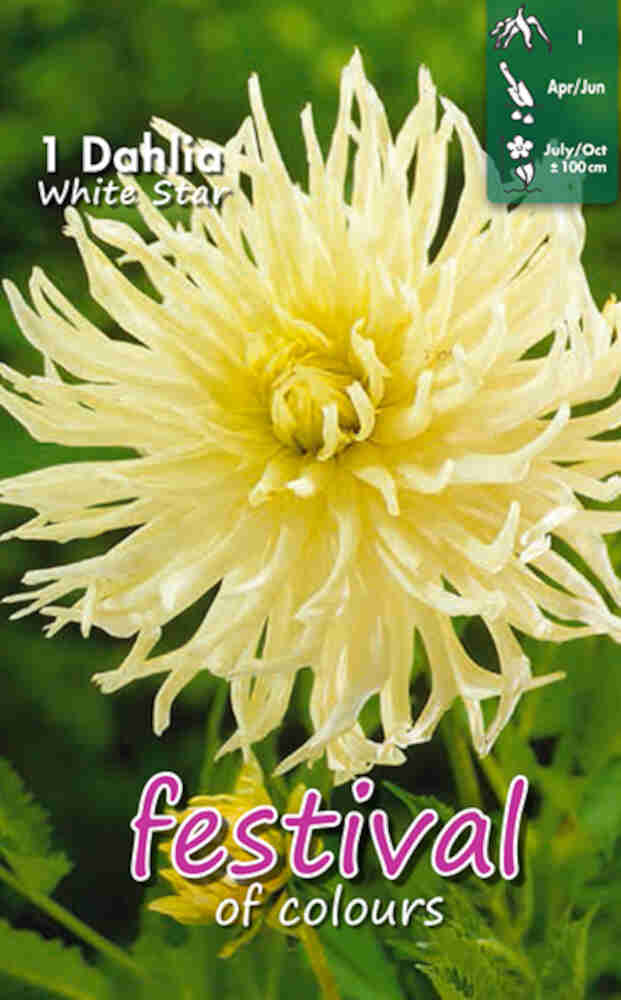 Dahlia White Star (Semi)Cactus