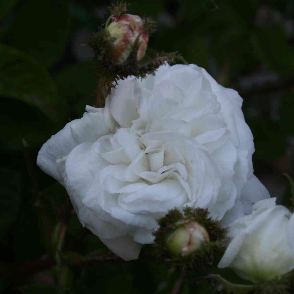 Mosrose - Rosa 'Blance Moreau'