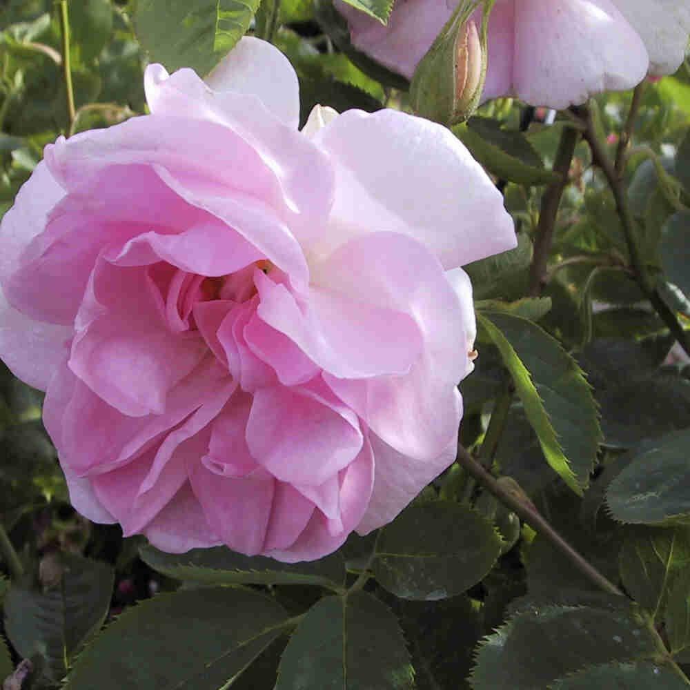 Smuk blomst i Celestial alba rosen