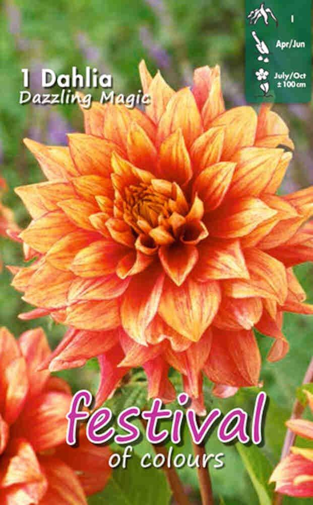 Dahlia Dazzling Magic Decorative