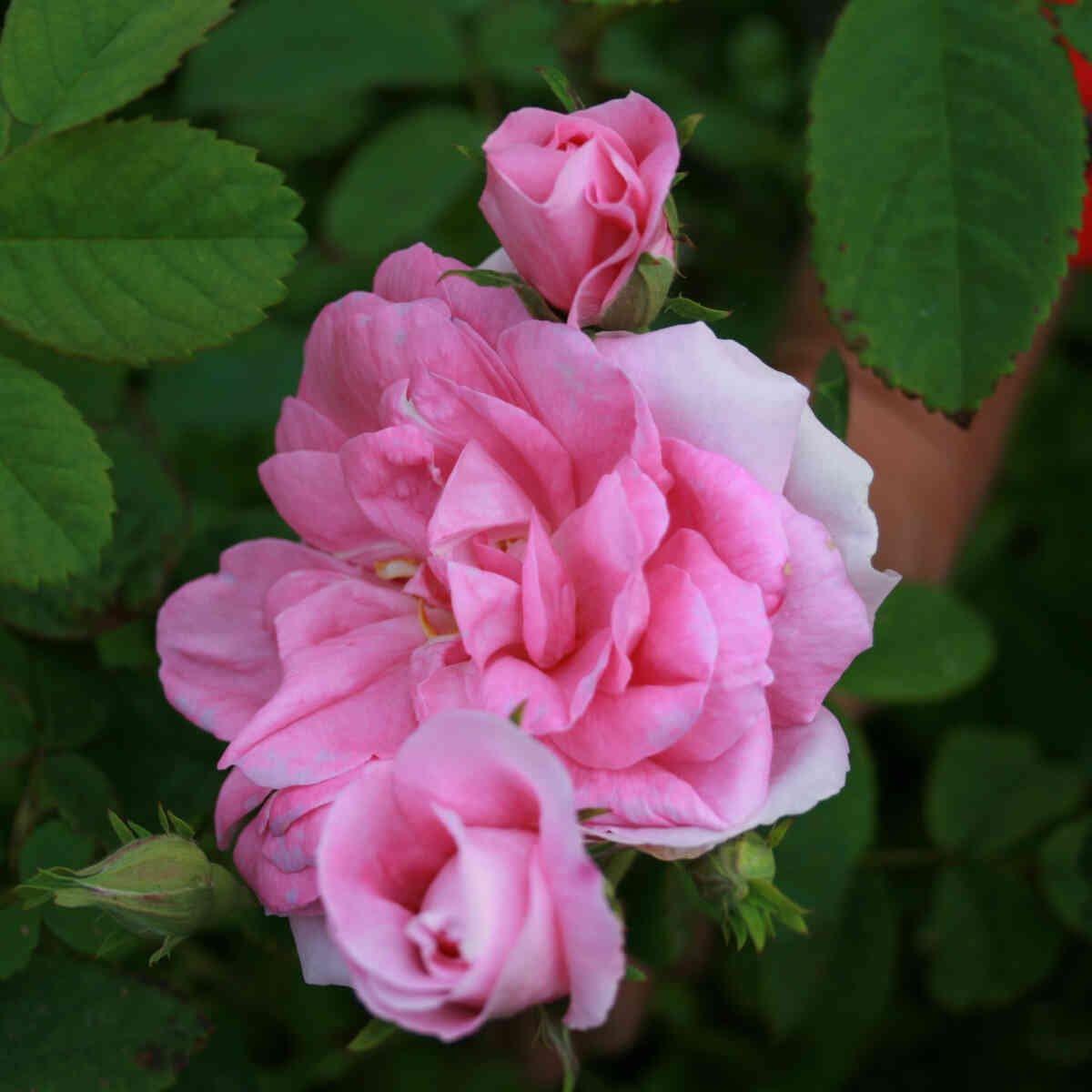 Mosrose - Rose 'Comtesse de Murinais'