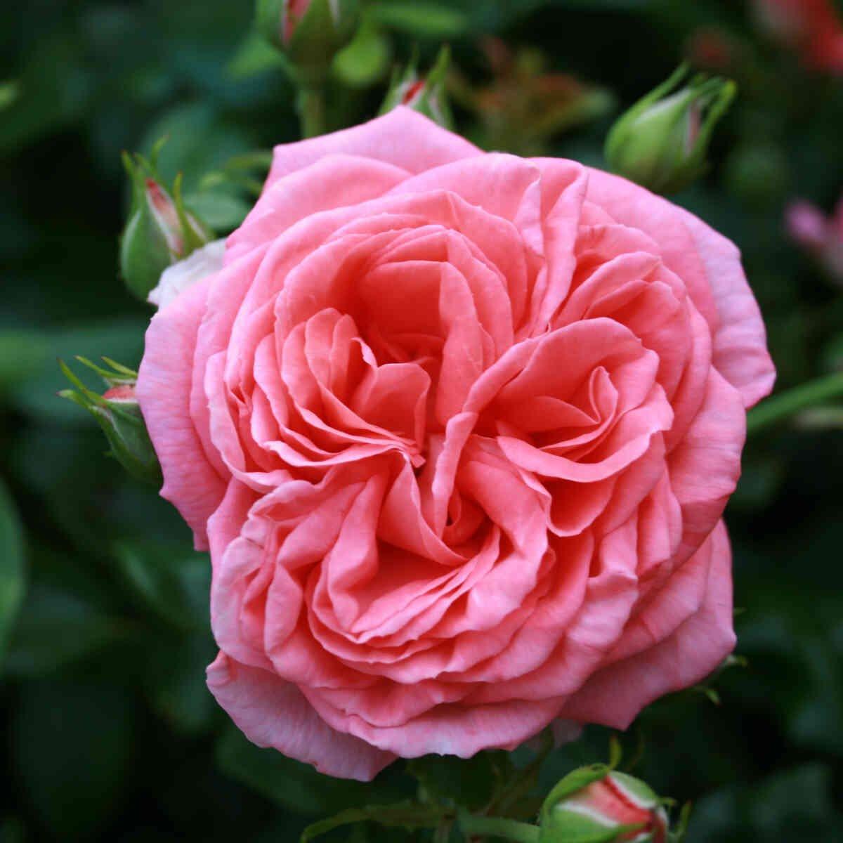 Rose 'Evelin'
