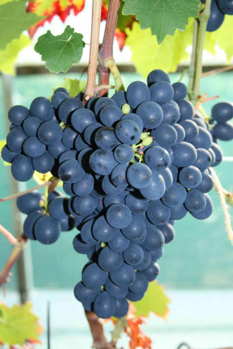 Vindrueplante - Vitis vinifera 'Nero'