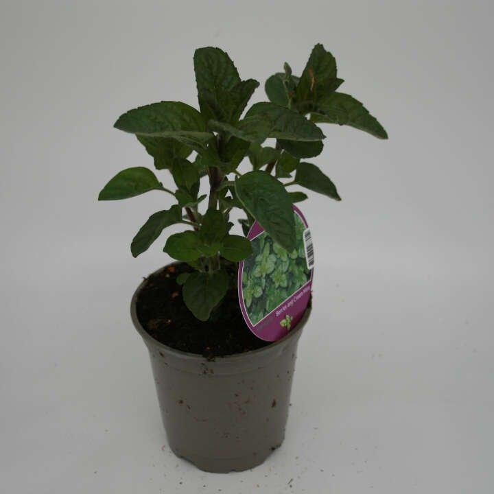 Bær mynte - Mentha  'Berries and Cream' - 10cm potte