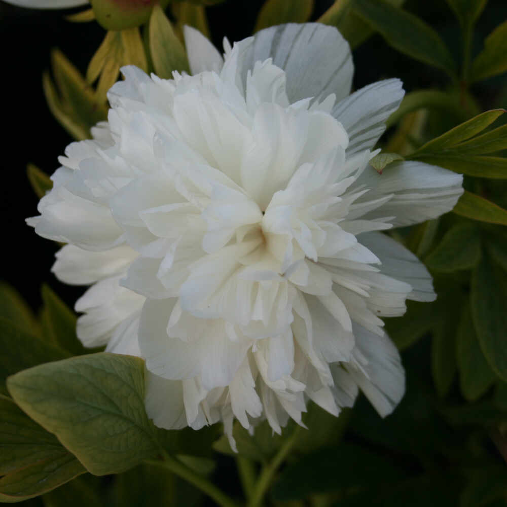 Bonderose Alba Plena i blomst