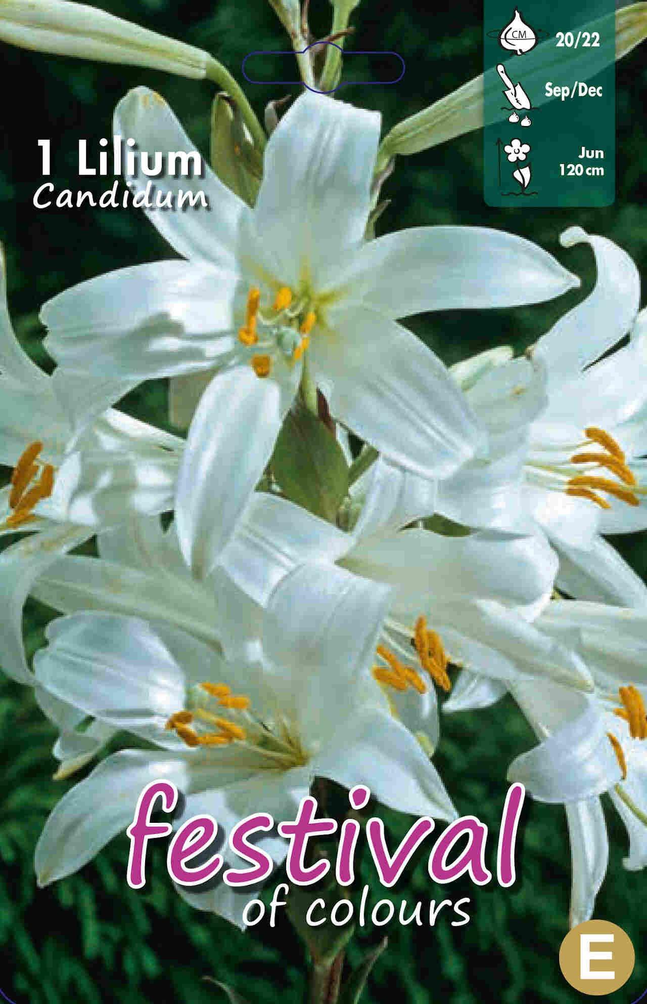 Madonnalilje - Lilium Candidum 20/22