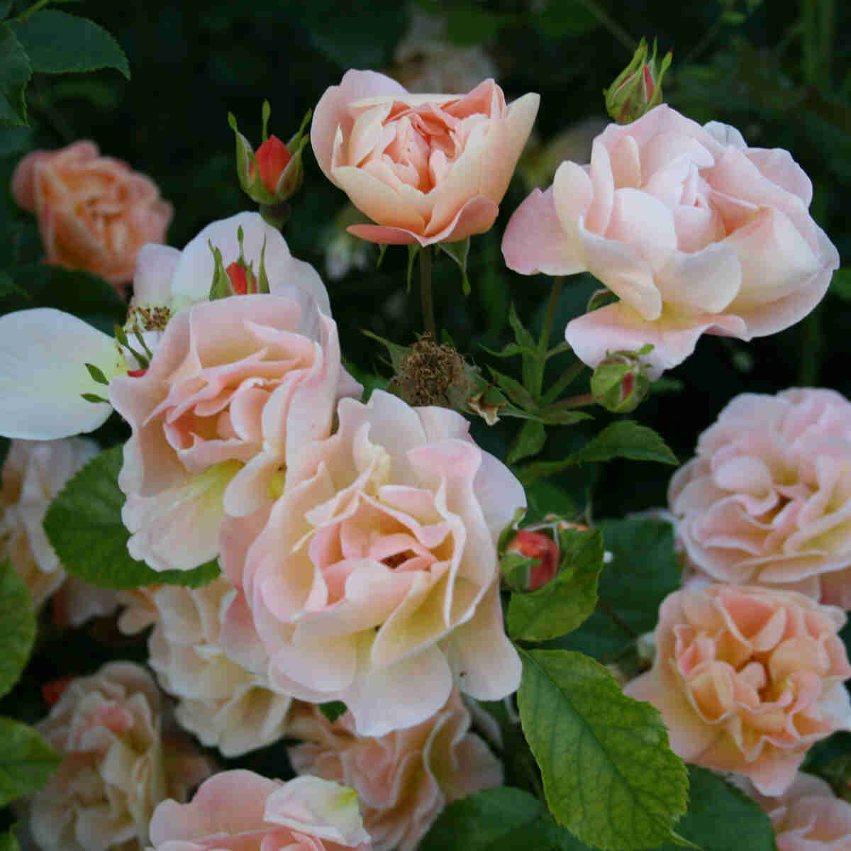 Bunddække Rose 'Sedana'