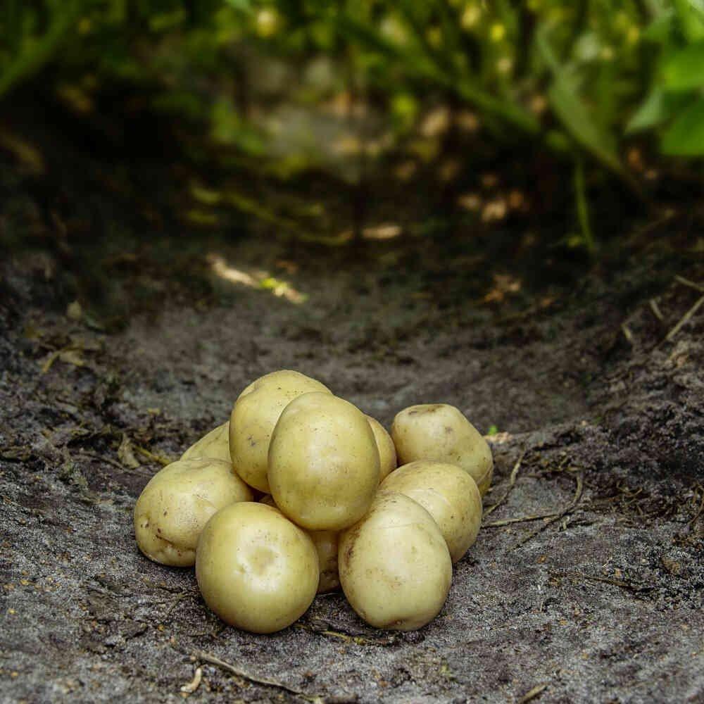 Hamlet læggekartofler i køkkenhave