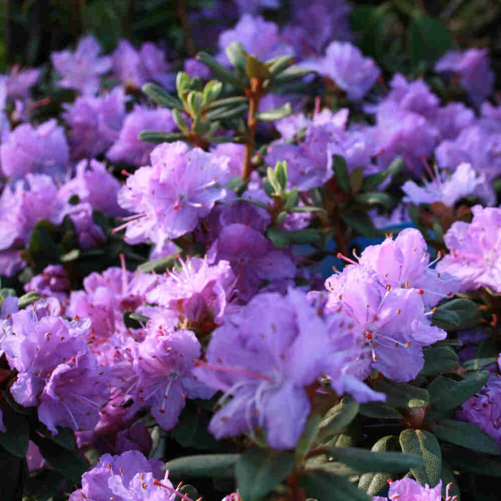 Dværgrhododendron - Rhododendron impeditum 'Ramapo'