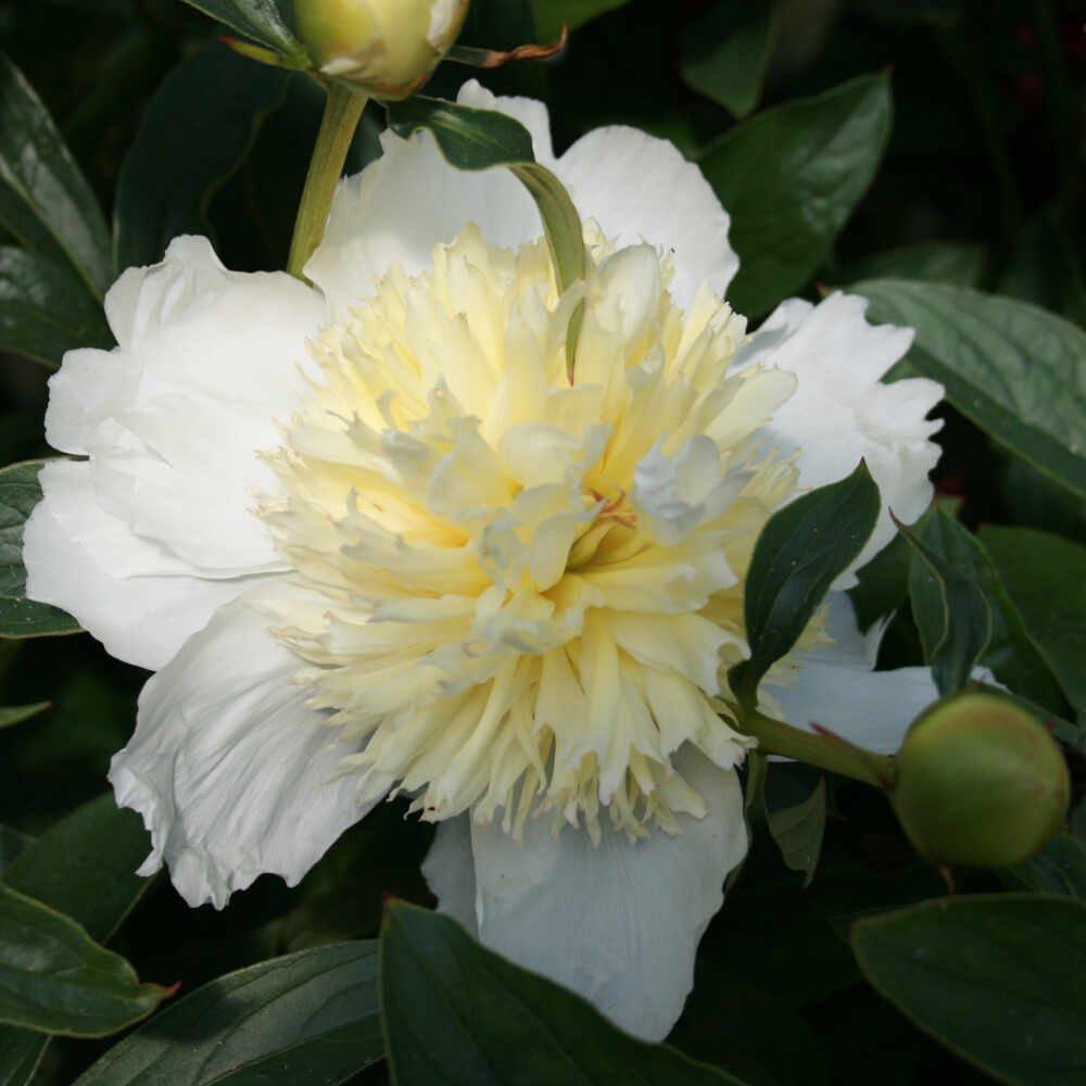 Silkepæon - Paeonia lactiflora 'Honey gold'