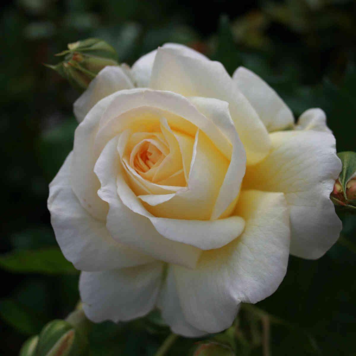 Rose 'Stockholm'