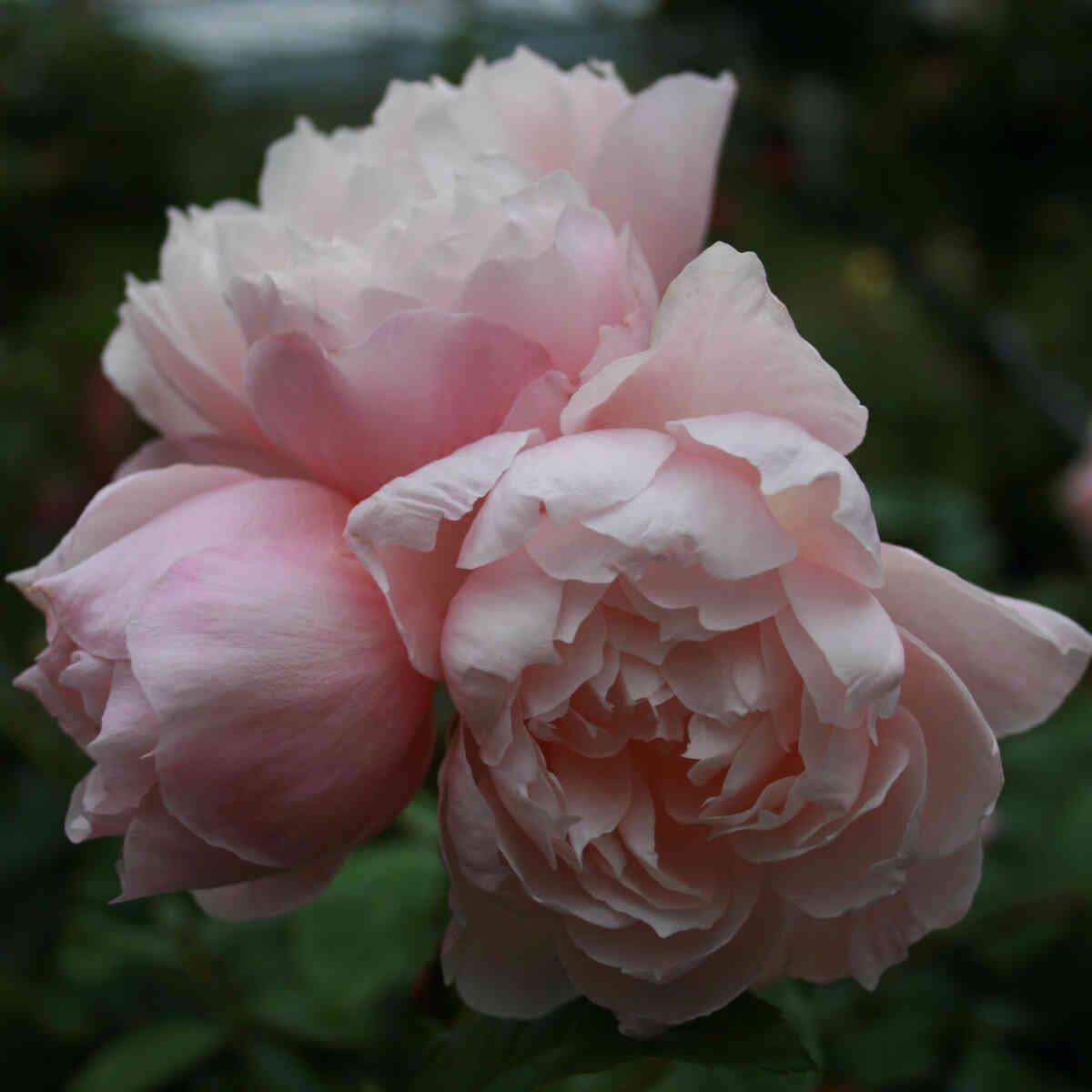 Rose 'The Generous Gardener'