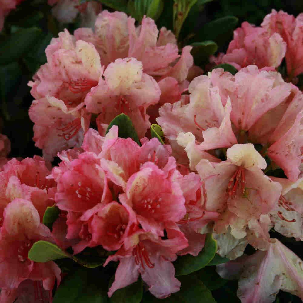 Rhododendron hybrid 'Brasilia'