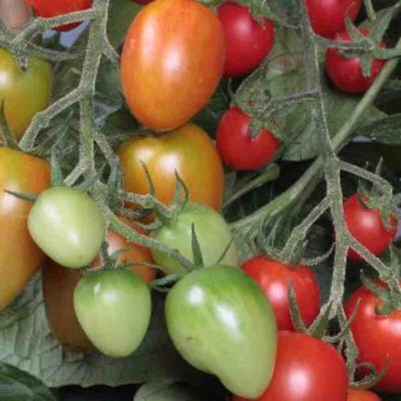Tomatplante - Blommetomat 'Flavorino'