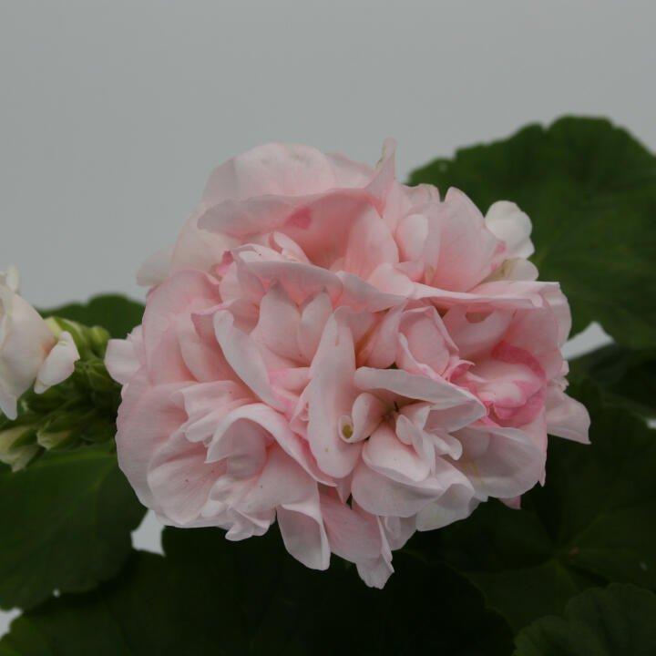 Pelargonie royal 'Dronning Ingrid'