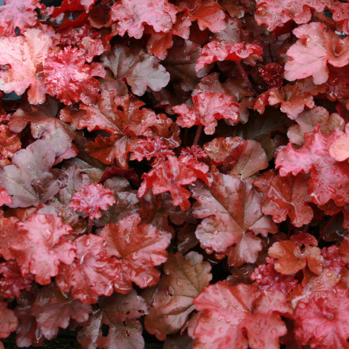 Alunrod - Heuchera hybrid 'Boysenberry'®