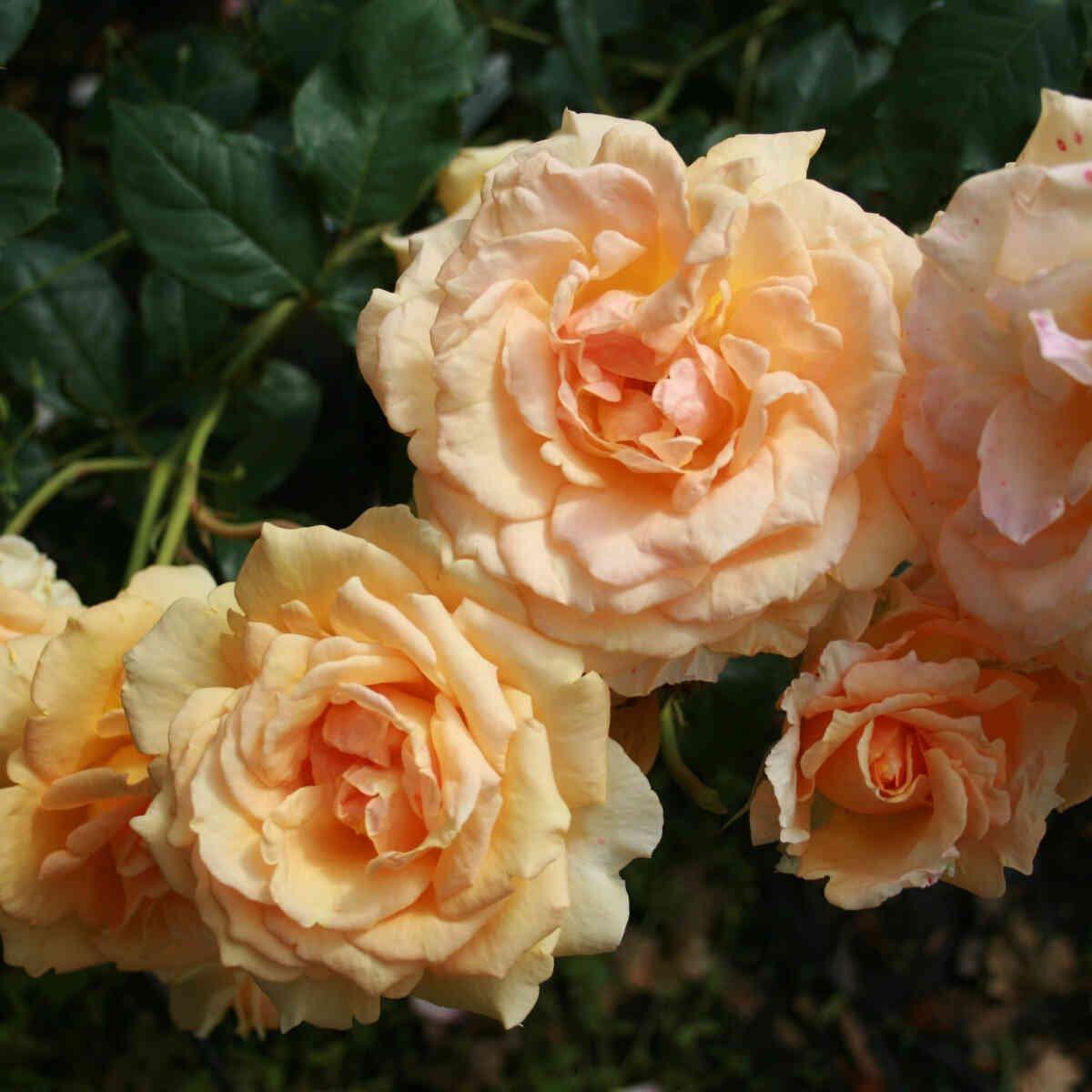 Rose 'Sophia Renaissance'