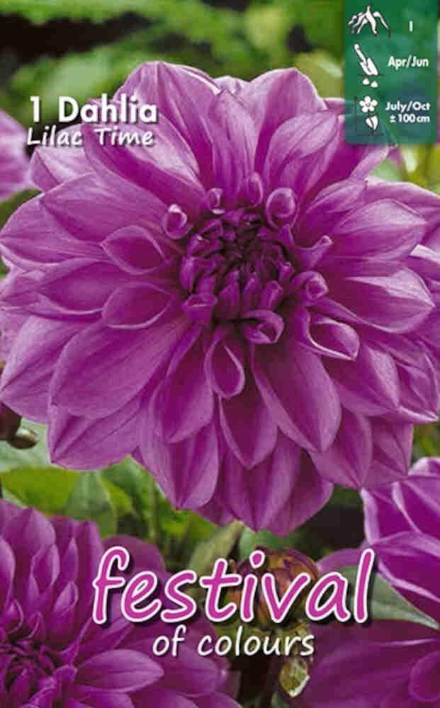 Dahlia 'Lilac Time Decorative'