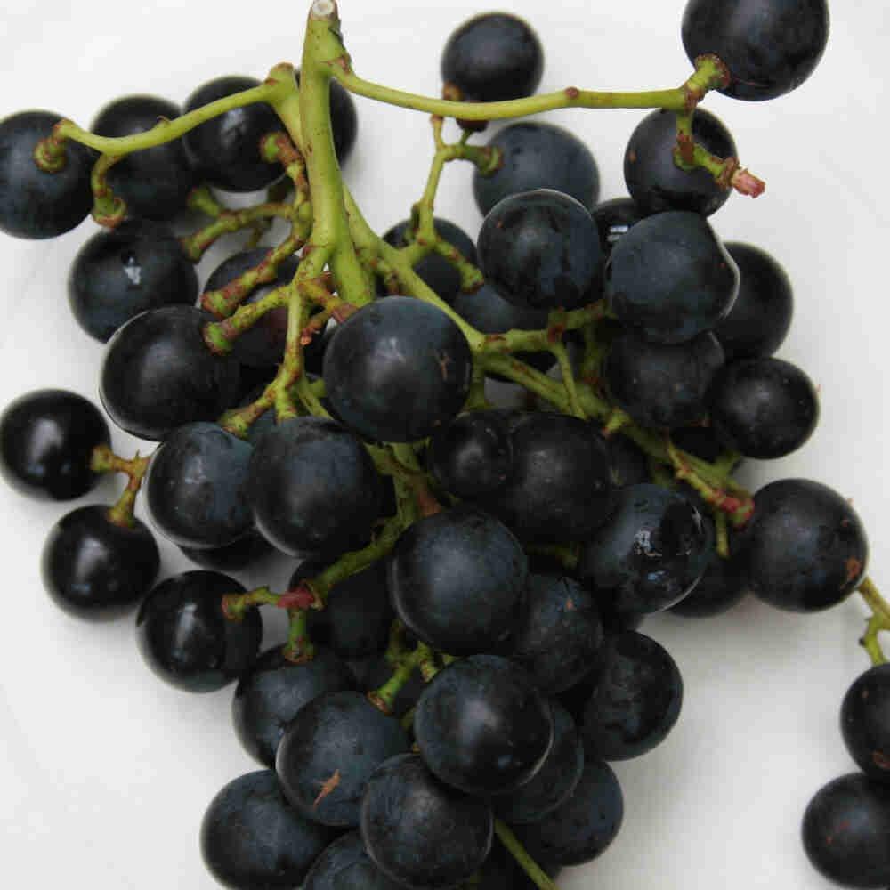 Vindrueplante - Vitis vinifera 'Muscat Bleu'