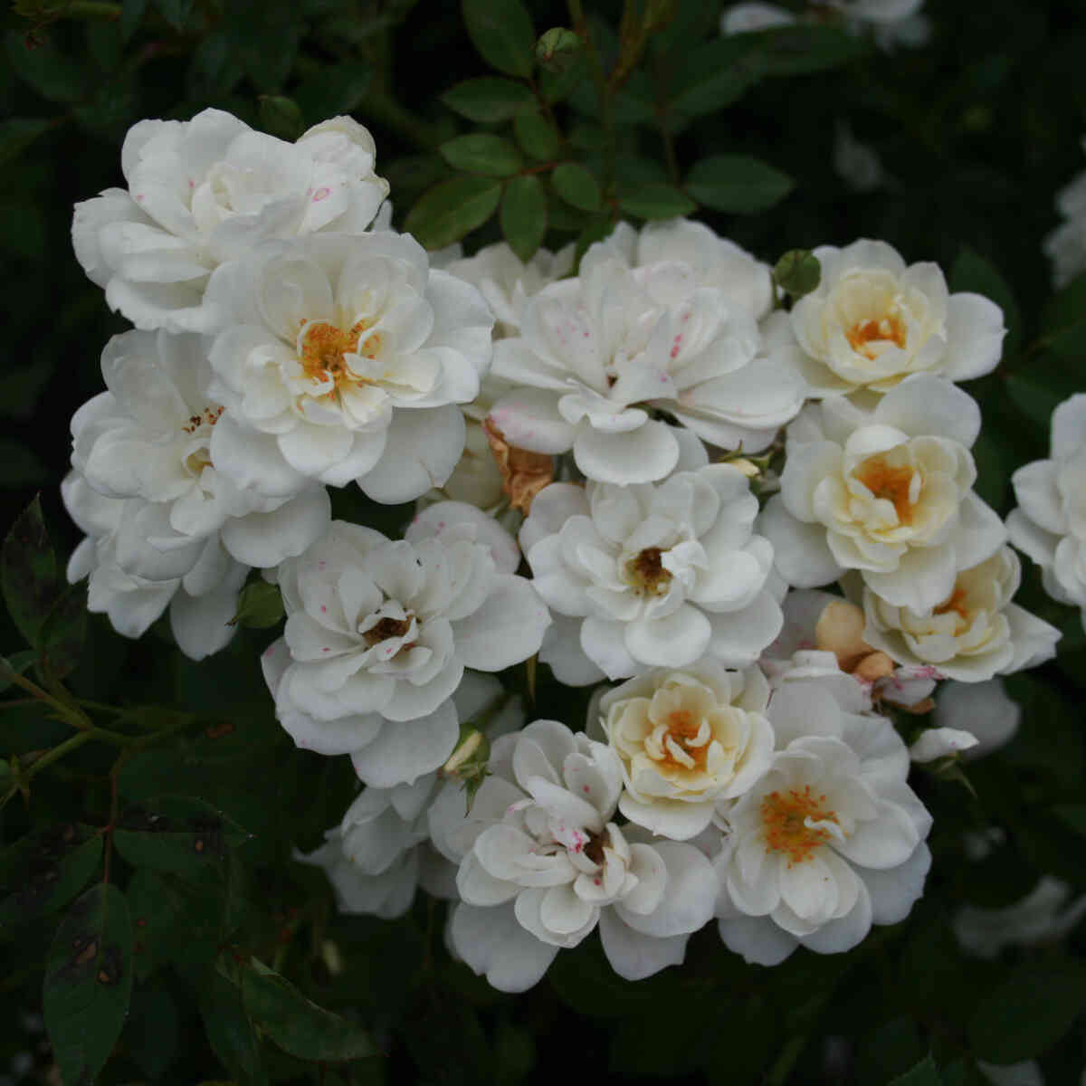 Bunddække Rose 'White Cover'