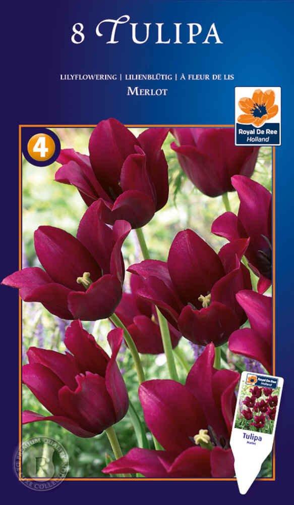 Tulipanløg Tulipa Merlot 12/+