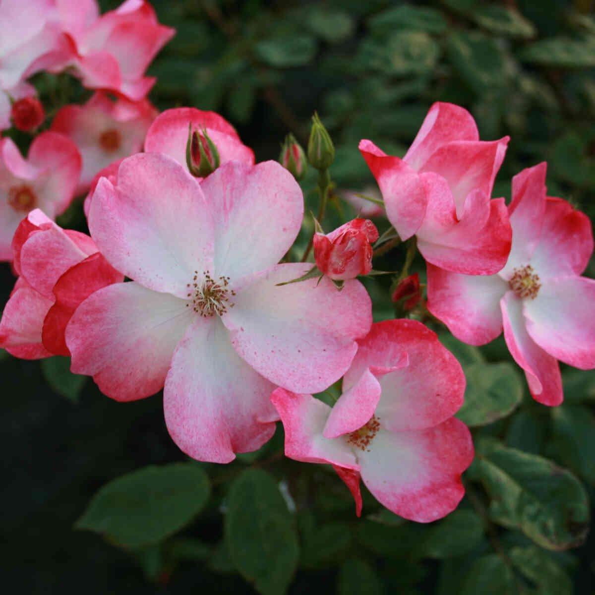 Rose moschata 'Rush'