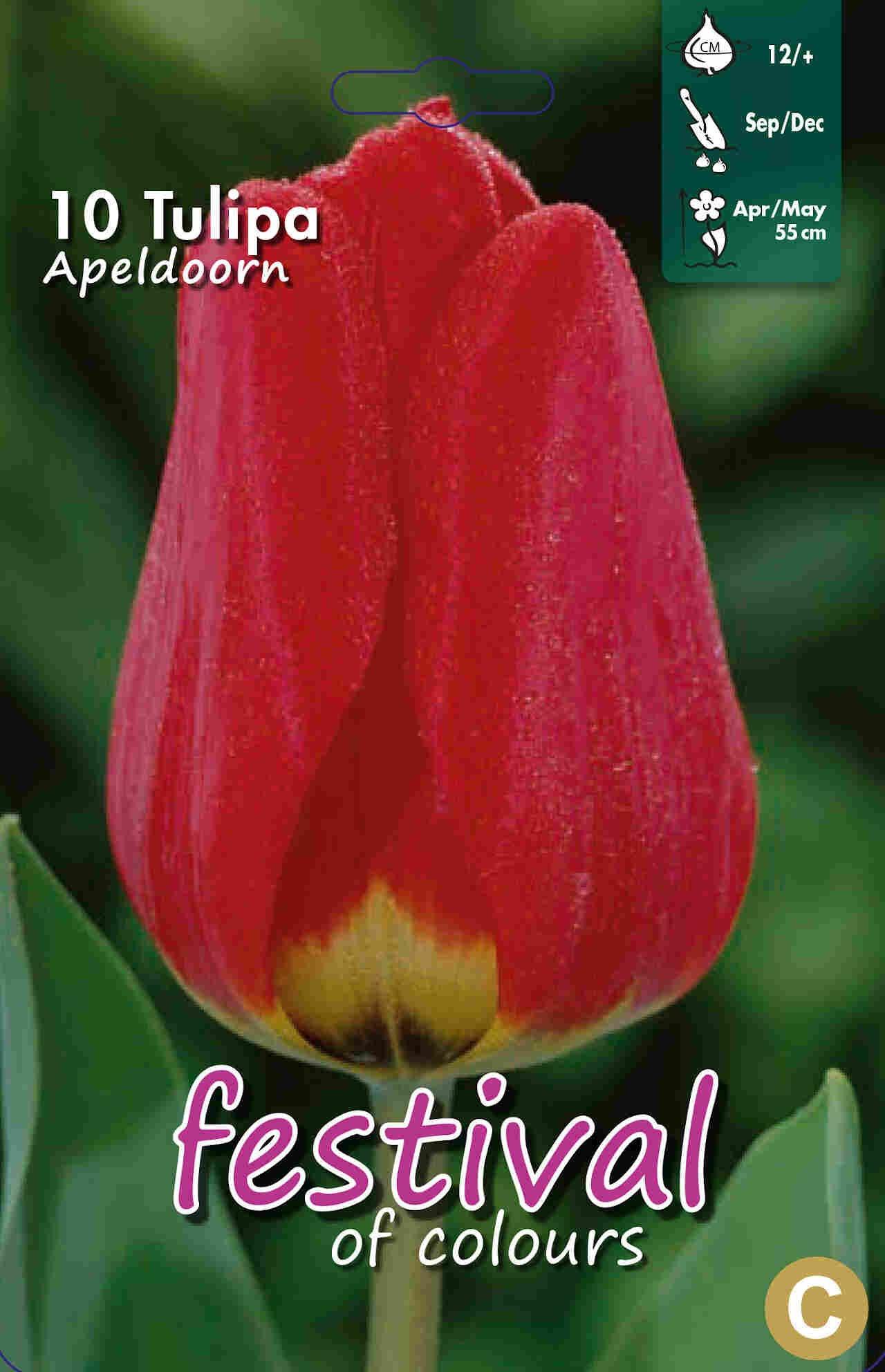 Tulipanløg - Tulipa Apeldoorn 12/+
