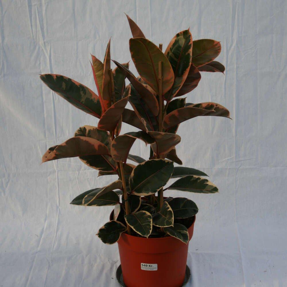 Gummiplante - Ficus elastica 'Belize'