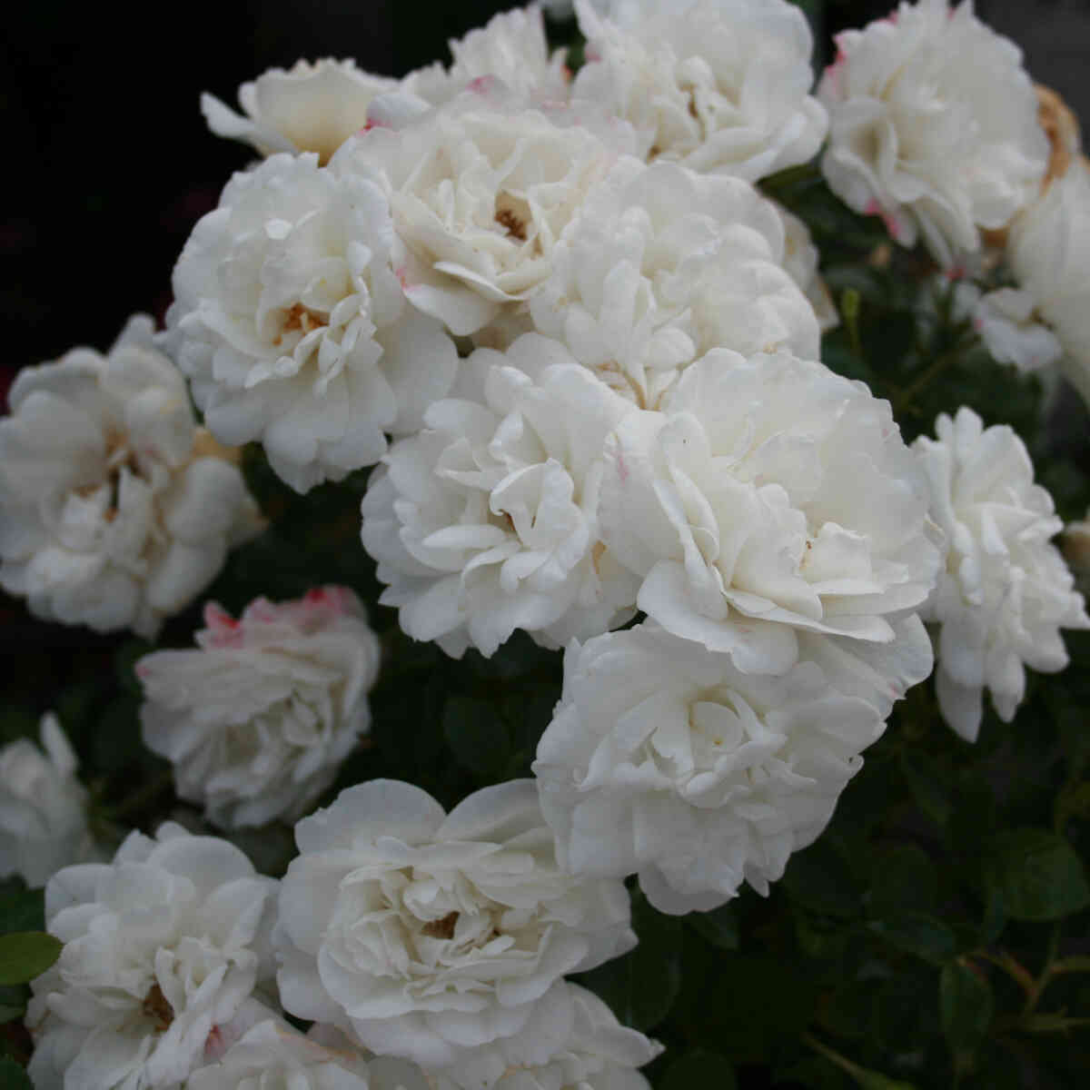 Rose 'White Babyflor'