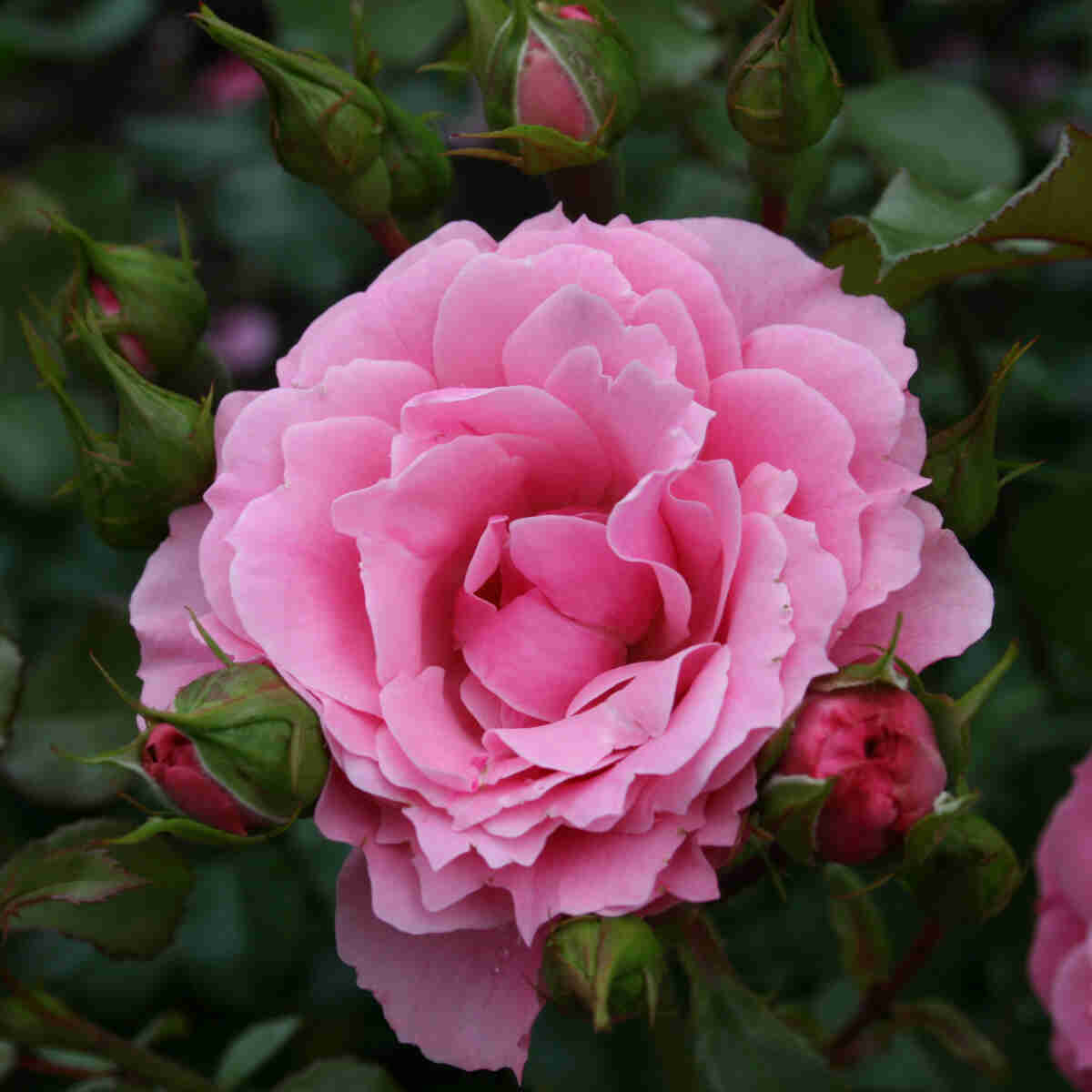Rose 'Royal Bonica'