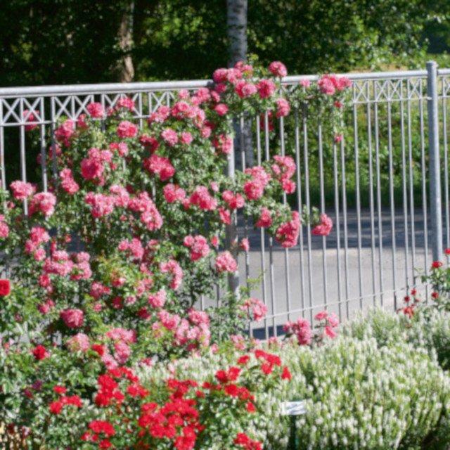 Slyngrose Heidetraum plus  i rosenhave