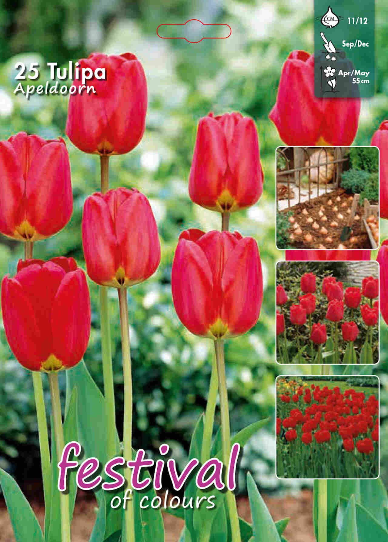 Tulipanløg - Tulipa Apeldoorn 12/+  Big bag