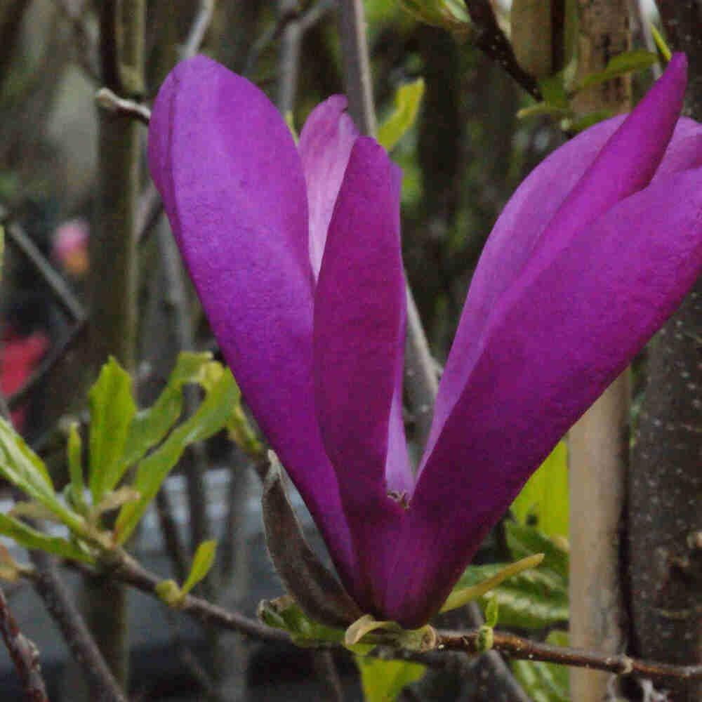 Magnolie - Magnolia 'Susan'