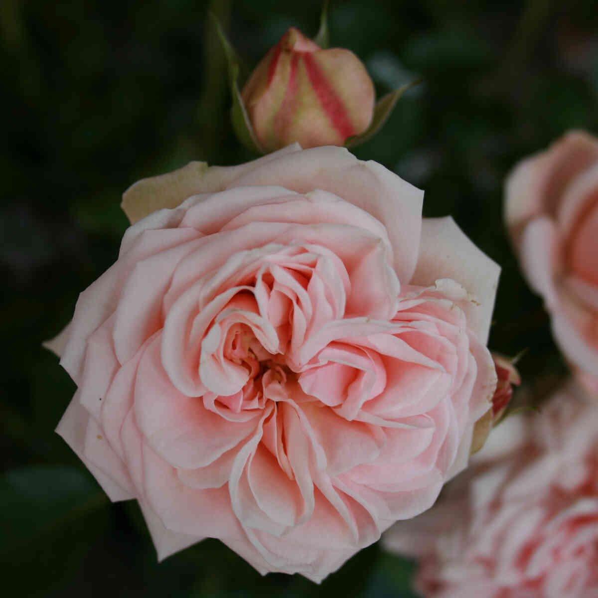 Rose 'Dronning Margrethe'
