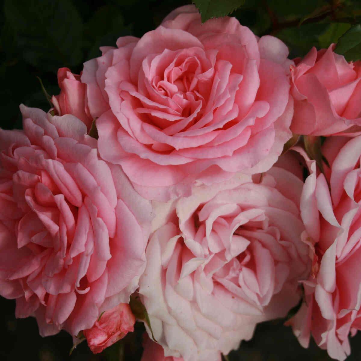 Rose 'Feline'