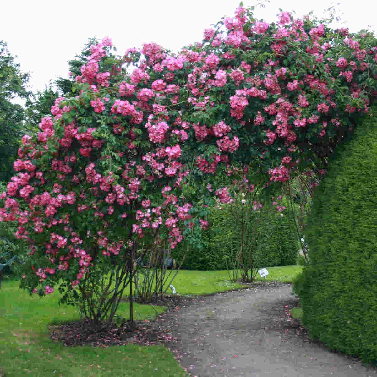 Smukke blomster i American pillar i Laubjergs Rosenhave