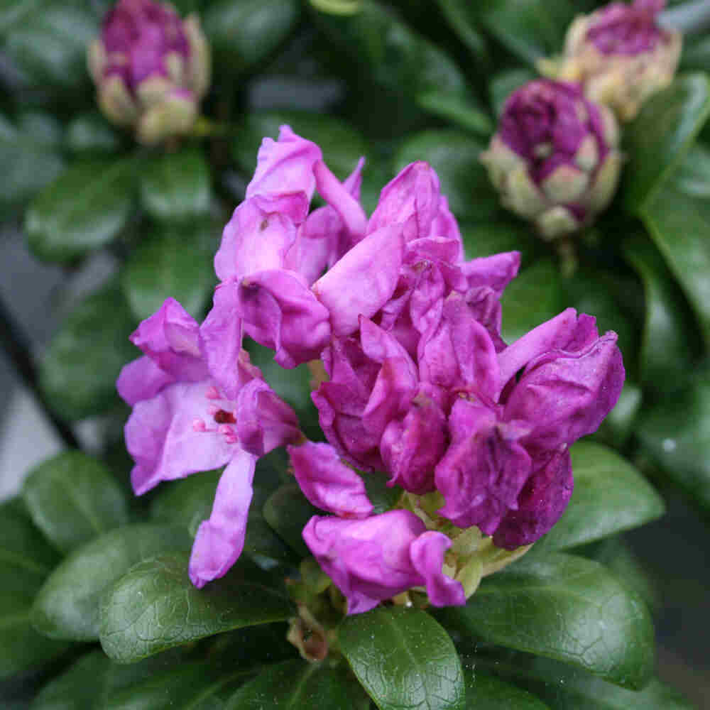 Rhododendron ponticum 'Imbricatum'
