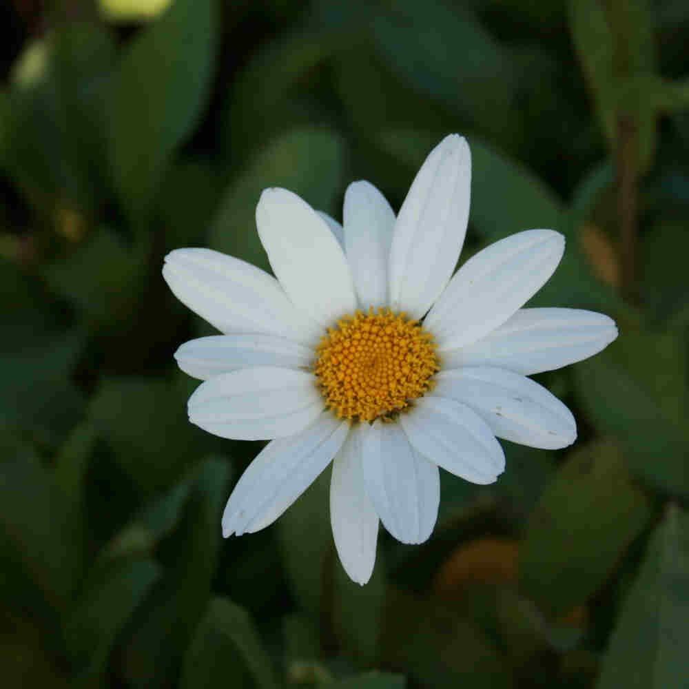 Kæmpemargerit - Leucanthemum s. 'Becky'