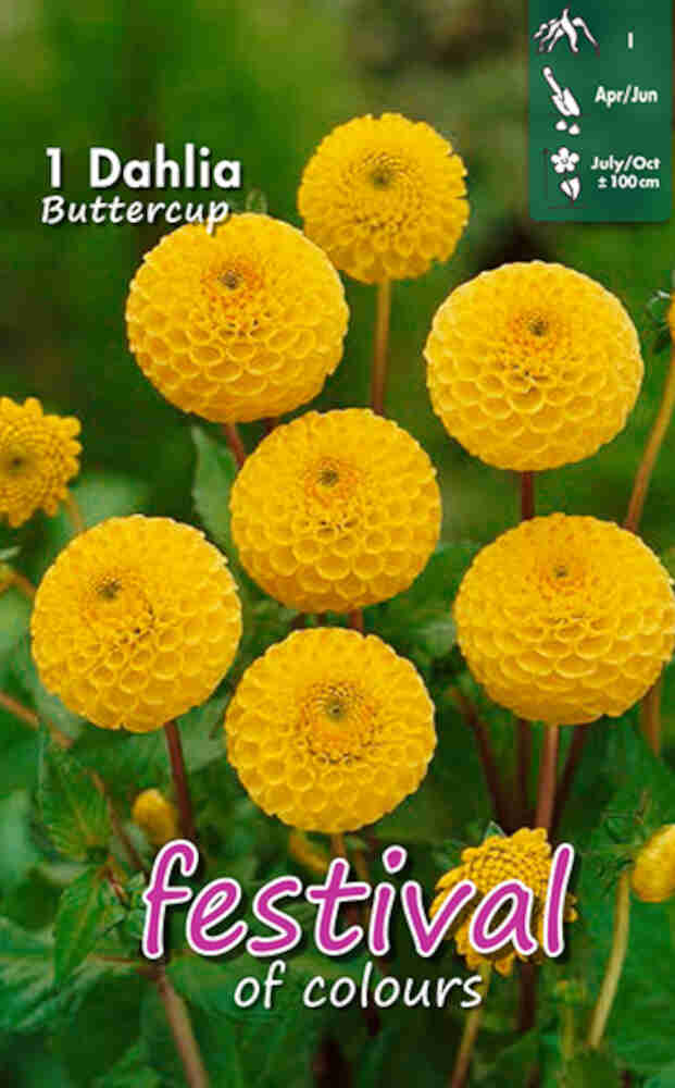 Dahlia 'Buttercup Mini Pompon'
