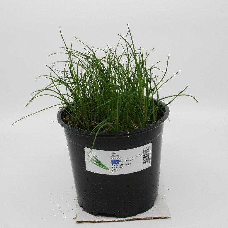 Purløg - Allium schoenoprasum - 14cm potte