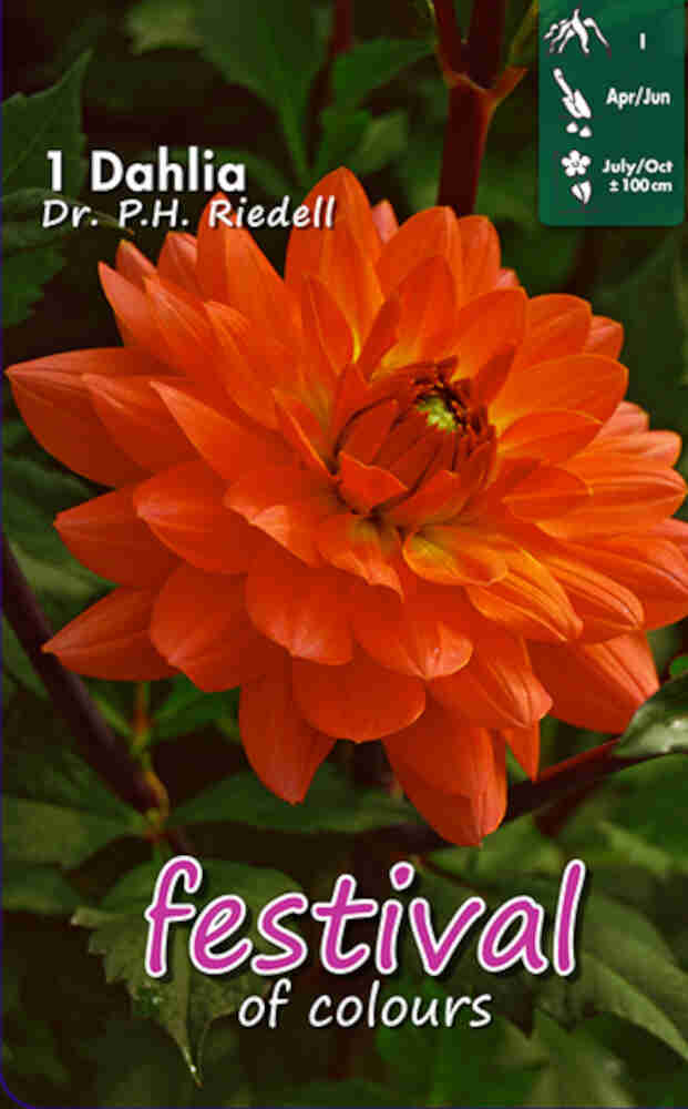 Dahlia Dr. P.h. Riedell Decorative